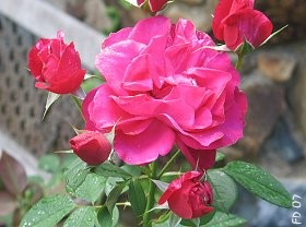 Delbard Matisse Rose