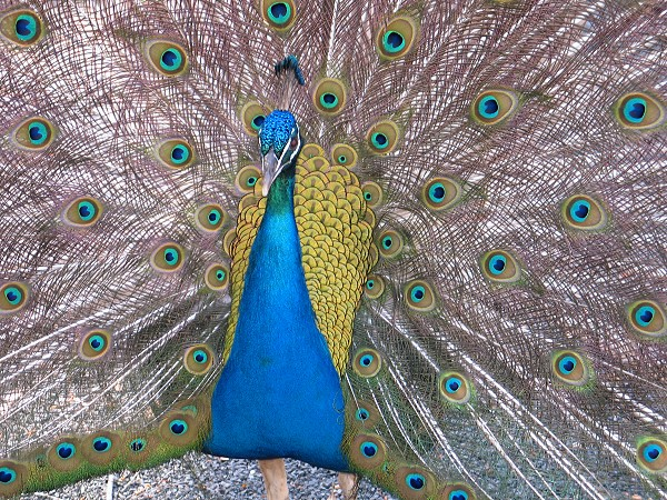 Alistair the peacock