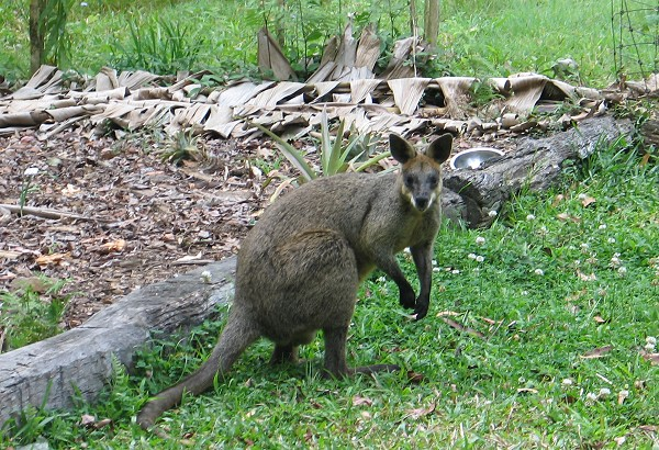 Wilma the Wallaby