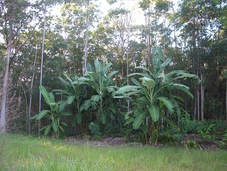 Banana garden