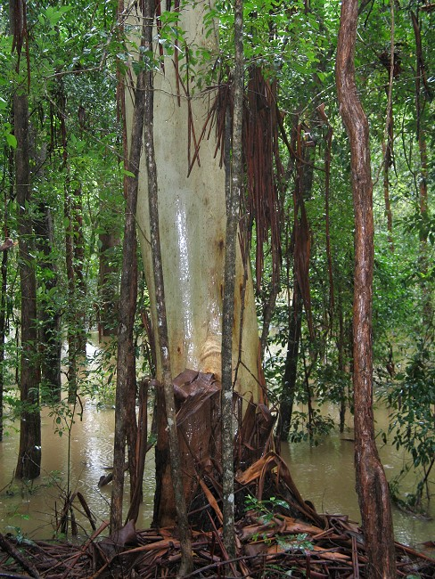 A flooded gum, flooded