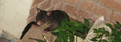 Betty the Brushtail Possum