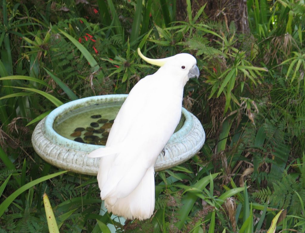 Sulphur-created Cockatoo