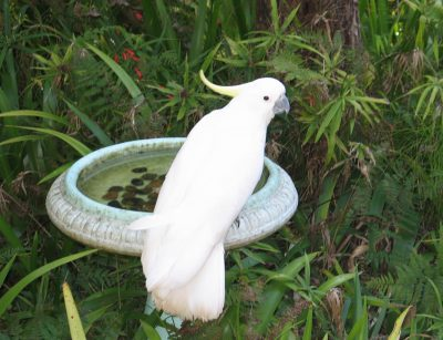 Sulphur-created Cockatoo